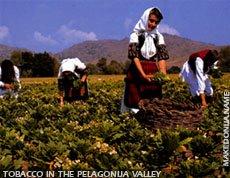 Tobacco in the Pelagonija valley