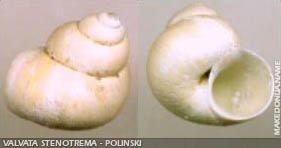 Valvata Stenotrema - Polinski