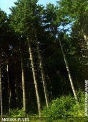 Macedonian Pine - Molika