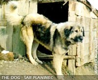 Sarplaninec dog